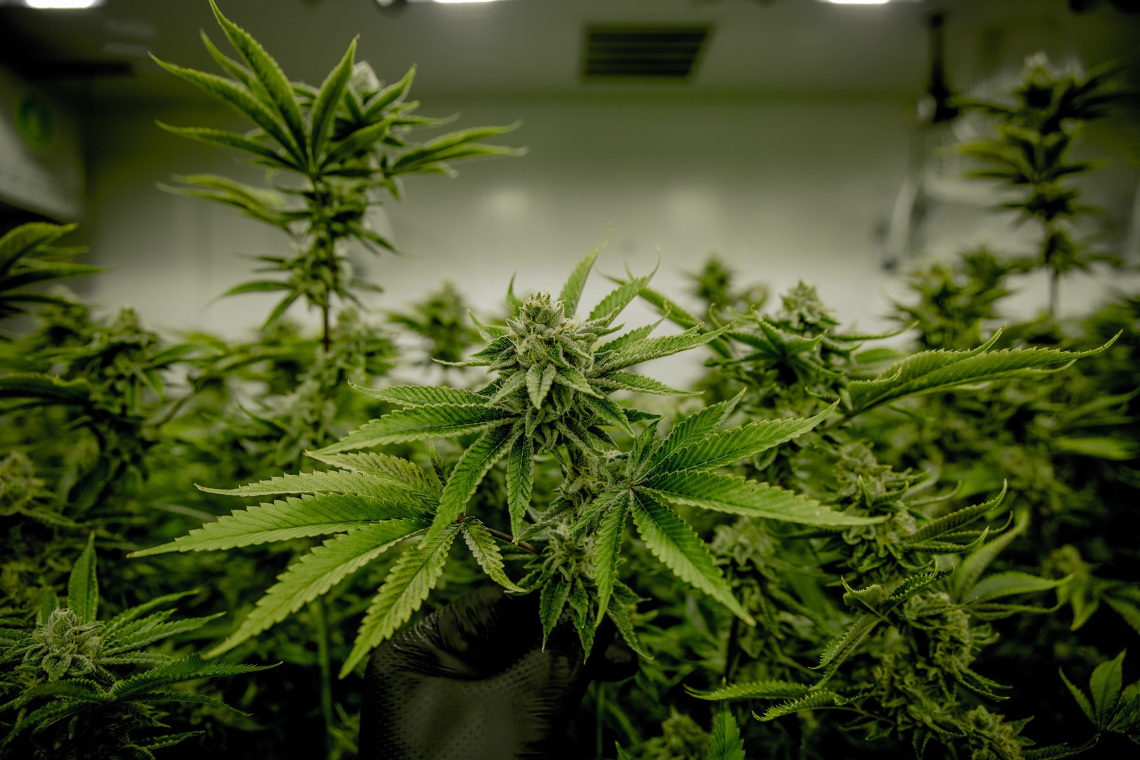 курение марихуана от простатита